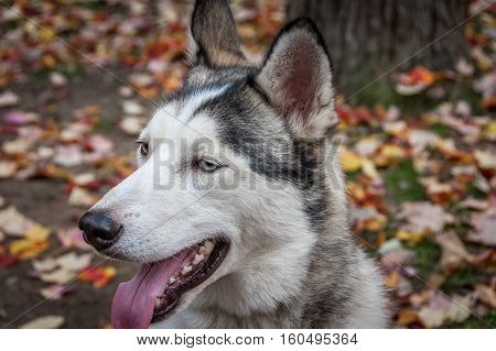 sled husky dog semi profile with blue eyes in Quebec country Canada