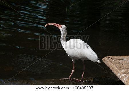 A White Ibis bird often seen in Florida