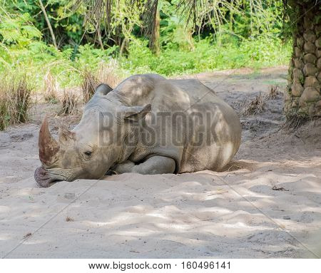 White Rhino laying on the ground in the shade