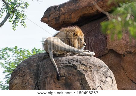 Male Lion laying on a rock resting