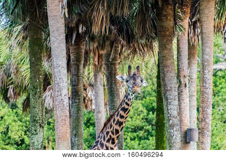 Reticulated giraffe standing in a group of trees