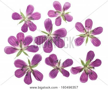 Pressed and dried flowers geranium pratense. Isolated on white background. For use in scrapbooking floristry (oshibana) or herbarium.