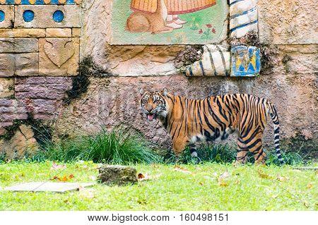 A Sumatran tiger looking around its area
