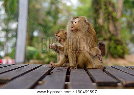 long-tail mountain monkey family sitting on wooden platform. macaca monkey in Thailand