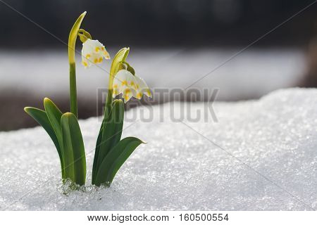 White snowdrop flower with abstract bokeh background. Spring snowdrop flowers blooming in sunny day.