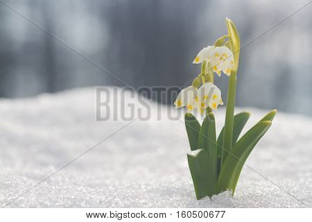 White Snowdrop Flower With Abstract Bokeh Background