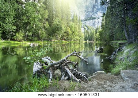 Old tree roots on Merced River bank Yosemite national Park