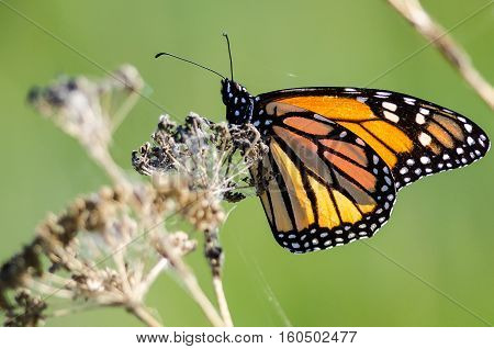 Monarch Butterfly Resting on a Dried Desert Flower