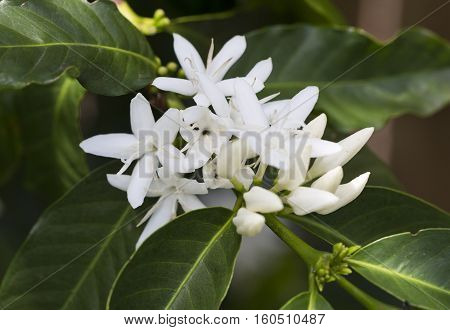 Coffee tree blossom with white flowers. Coffea is a genus of flowering plants belonging to the family Rubiaceae.