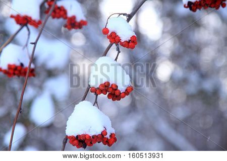 Red bunches of rowan tree covered with snow mountain ash rowan berry. Selective focus