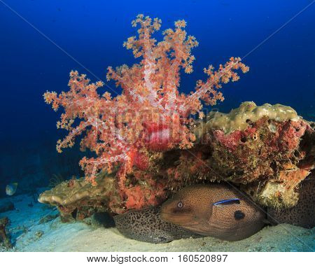 Moray Eel and coral