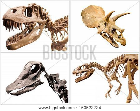 Set of dinosaurs skeleton T-Rex Diplodocus Triceratops on white isolated background