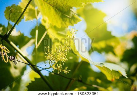 Stage of grape vine bloom - grape inflorescence with nearly 100% cap fall