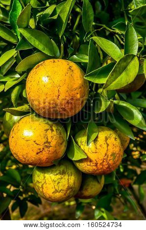 Winter is the season of ripe orange, ready to collect sent to market.