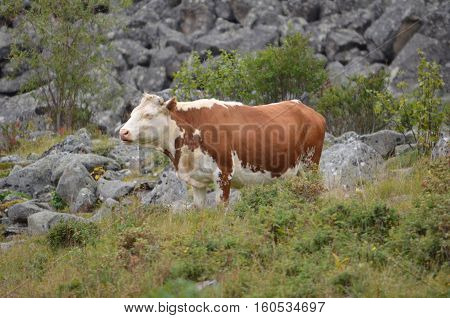 Breeding Cows Grazing High In The Mountains.