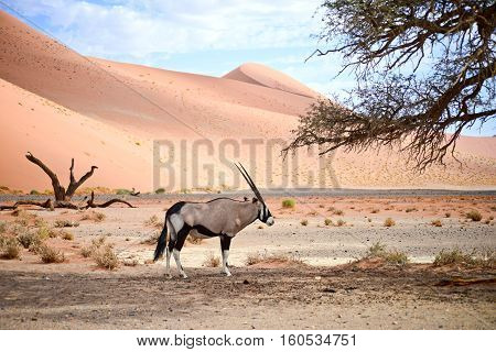 an image of an oryx in Namibia