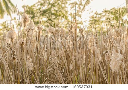 Typha angustifolia In the field of nature