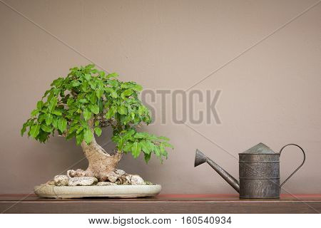 close up vintage style watering can and Bonsai tree on wood shelf with brown wall background