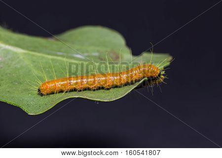 Painted Jezebel Caterpillar