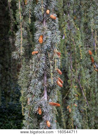 Small bumps on the branches of a weeping spruce
