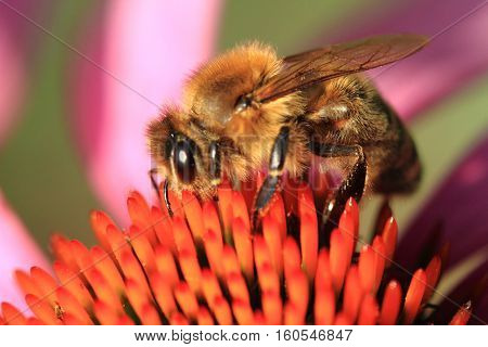 Small Bee And Violet Echinacea Flower