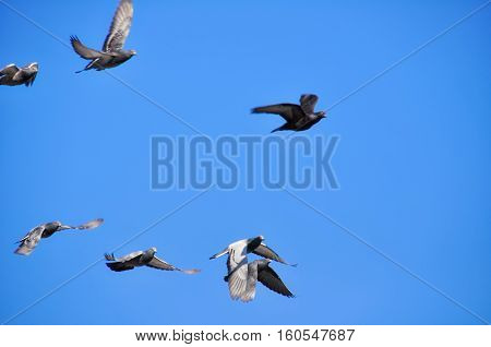 Flying pigeons on a bight blue sky day. 2 pigeons seems to fly on top of each other
