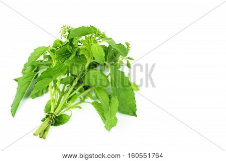 Holy Basil or Hot basil Ocimum sanctum isolate on white
