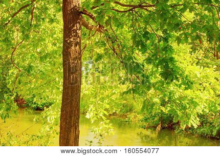 sunny oak forest on the shore of  lake
