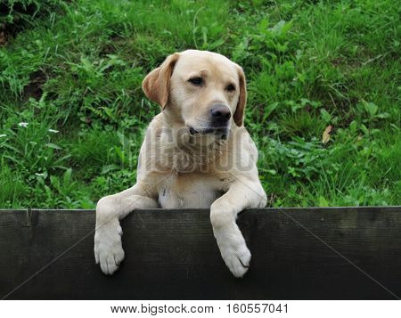 Image of the tired and phlegmatic watchdog