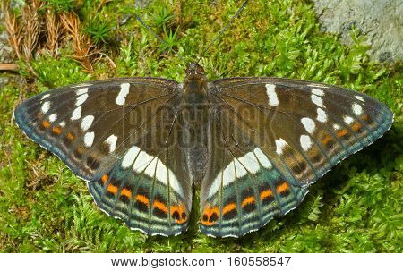A close up of the butterfly (Limenitis populi ussuriensis) on moss.