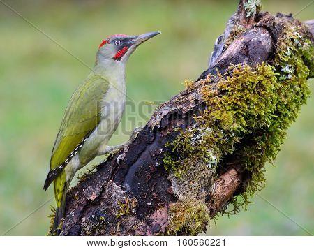Male European Green Woodpecker On A Branch