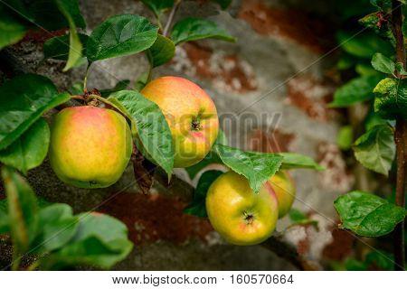 Ripe Blenheim Orange apples growing on tree.