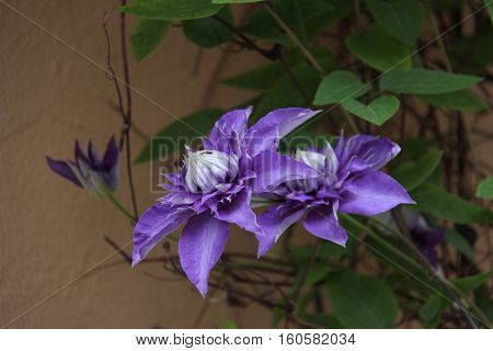 Clematis / Clematis - Beautiful garden flowers .