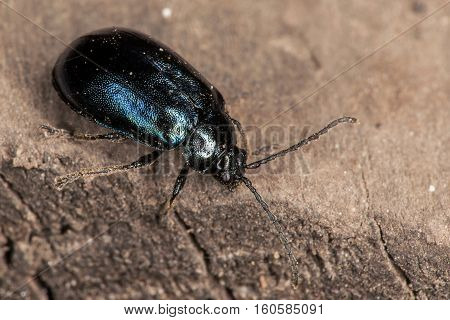A close up of a Beetle crawling on the cement ground. Dec 2016