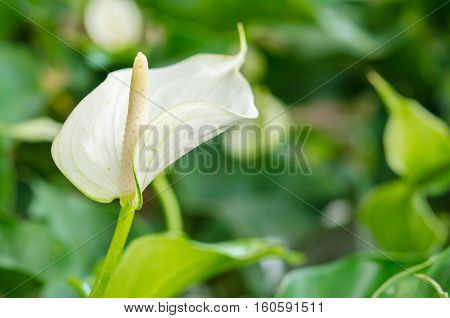 White anthurium andreanum or flamingo flower with leaf bloom in garden.