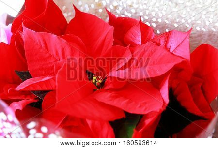 Bright red poinsettia or Christmas flower .