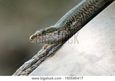 A Lizard on the stone close up