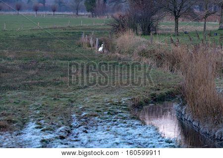 Alert Egret Sitting At The Edge Of Ditch In Winter Rural Landscape. Gelderland. The Netherlands.