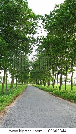 Treelined country road with many bushes and paddy rice field besides