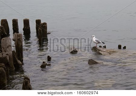 Seagull / Seagull sitting on a rock sticking out of the water.