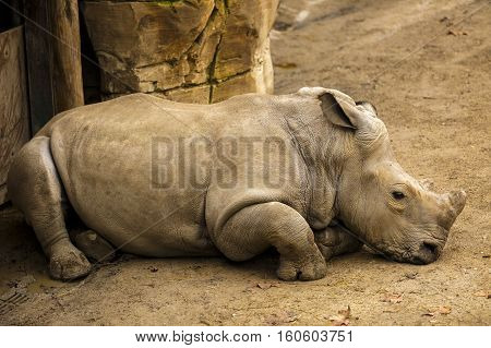 A old rhino sits in zoo .