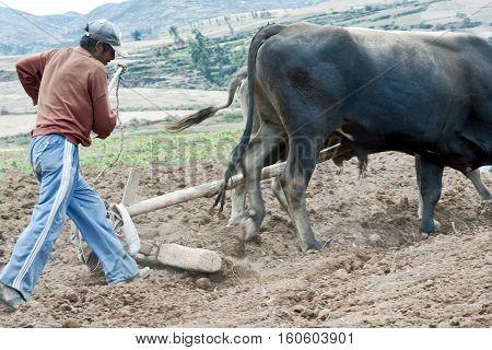 Sharecropper plowing a field for potatoes. October 18 2012 - Maras Urubamba Valley Peru