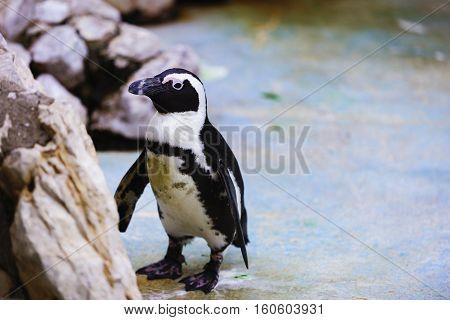A African Penguin Spheniscus - Demersus captive