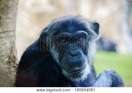 expressive image whit chimpanzee monkey at zoo