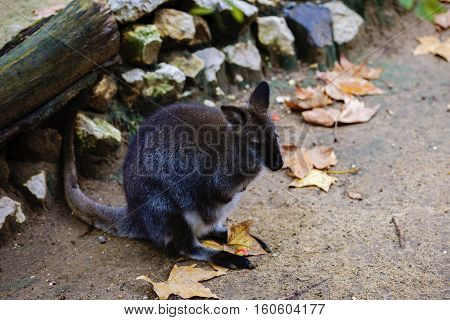 Swamp wallaby Wallabia bicolor is a small macropod marsupial of eastern Australia this kangaroo is also commonly known as the black wallaby