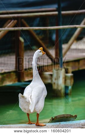 Portrait of a white wild goose. The goose spread its wings on the shores of lake.