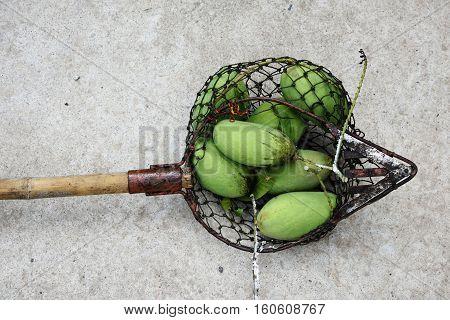 Greens Mangoes In Fruit Picker Net
