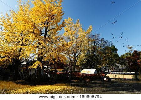Yellow Ginkgo Tree At Toji Temple, Kyoto