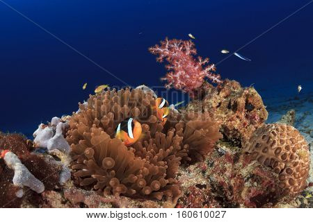 Tropical reef with Clarke's Anemonefish (Clownfish), fish and red soft corals