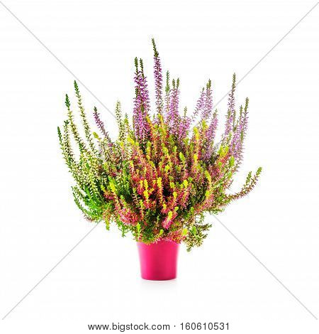 Autumn heather flowers. Pink flowerpot with multicolor erica bunch isolated on white background